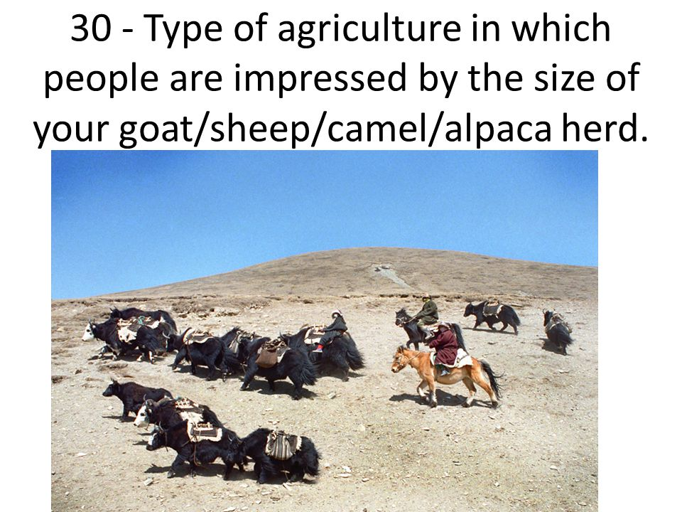 30 - Type of agriculture in which people are impressed by the size of your goat/sheep/camel/alpaca herd.
