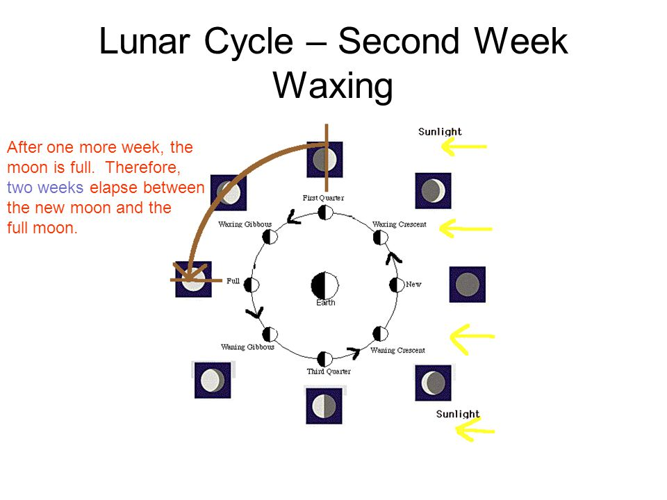 Lunar Cycle – Second Week Waxing After one more week, the moon is full. Therefore, two weeks elapse between the new moon and the full moon.