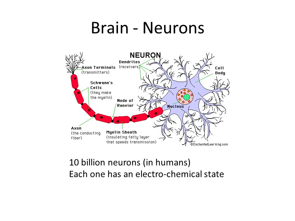 Brain - Neurons 10 billion neurons (in humans) Each one has an electro-chemical state