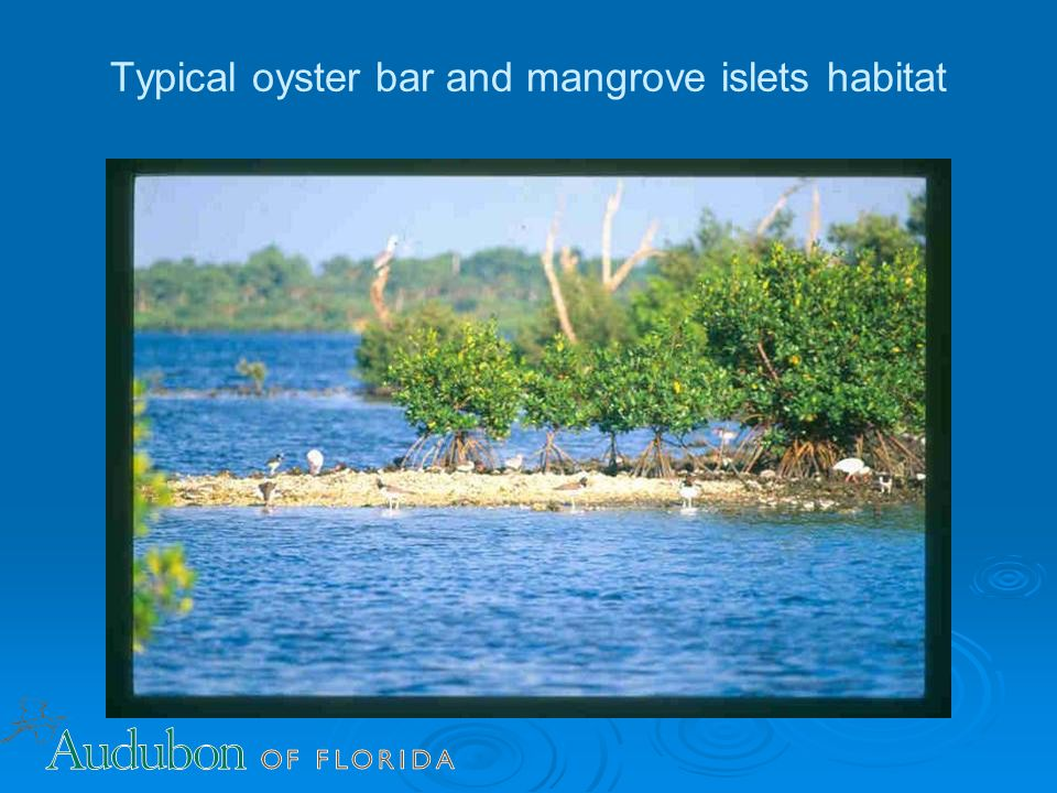 Typical oyster bar and mangrove islets habitat