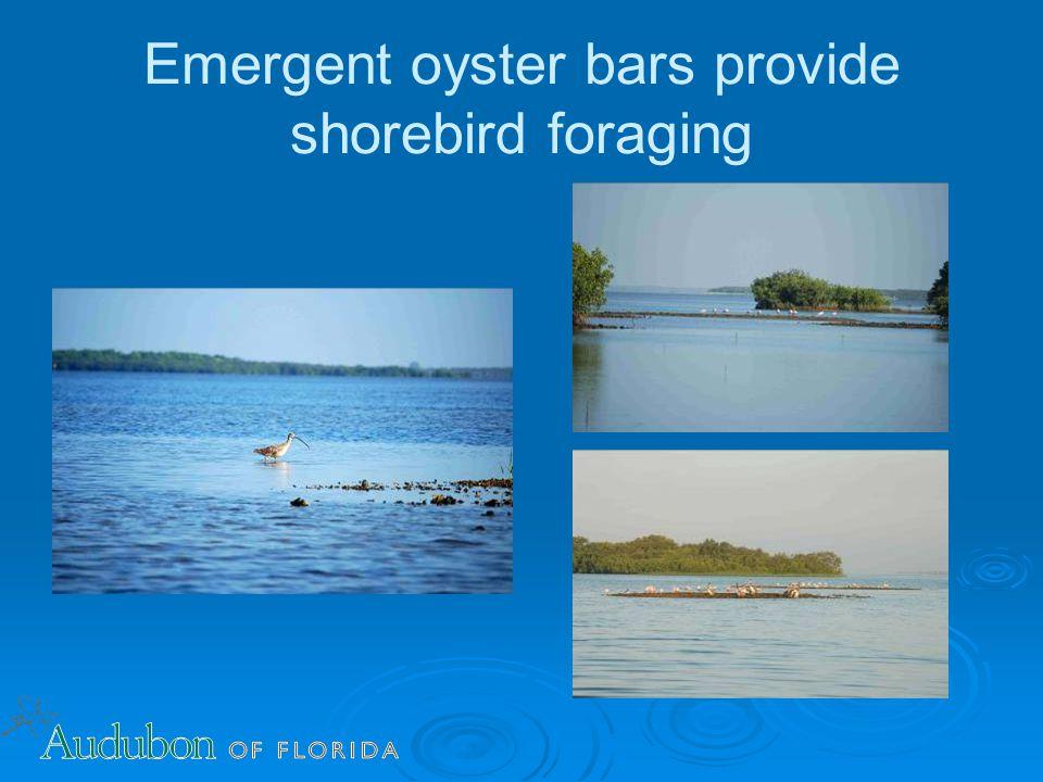 Emergent oyster bars provide shorebird foraging