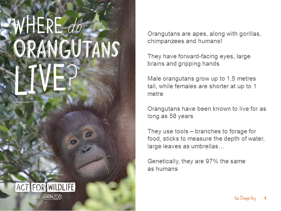 Orangutans need rainforest to survive, but the rainforest trees of Sumatra and Borneo are being cut down for timber or burned to make space for oil palm plantations and roads In the past 30 years, more than 80% of their forest home has disappeared The orangutan population has halved in Borneo in the past 60 years and fallen by 80% in Sumatra in the past 75 years Today, there are fewer than 50,000 orangutans in the wild and they may be lost forever within a few decades