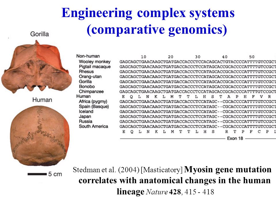 Engineering complex systems (comparative genomics) Stedman et al. (2004) [Masticatory] Myosin gene mutation correlates with anatomical changes in the