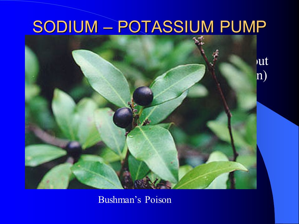 SODIUM – POTASSIUM PUMP Protein conformation change brought about by covalent modification (phosphorylation) – Changes affinity for Na+/ K+ – Flips the protein's conformation causing the ions to be moved Dephosphorylation (phosphatase) flips it back Inhibtied by ouabain Bushman's Poison