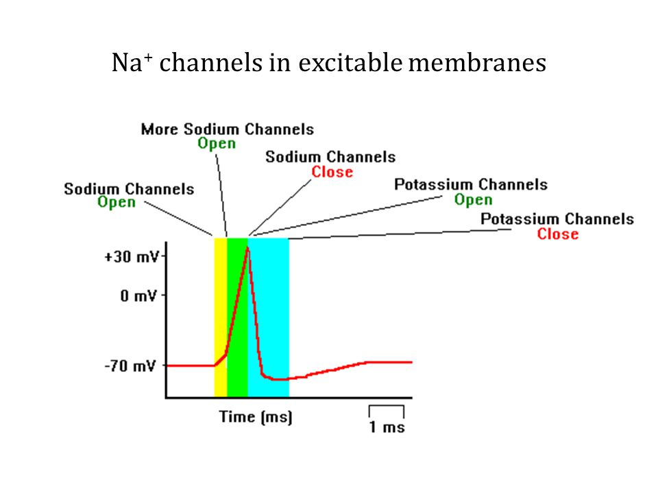 Na + channels in excitable membranes