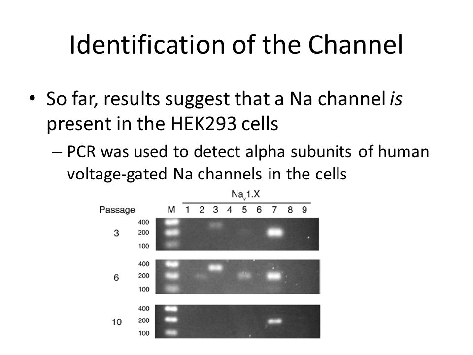 Identification of the Channel So far, results suggest that a Na channel is present in the HEK293 cells – PCR was used to detect alpha subunits of human voltage-gated Na channels in the cells