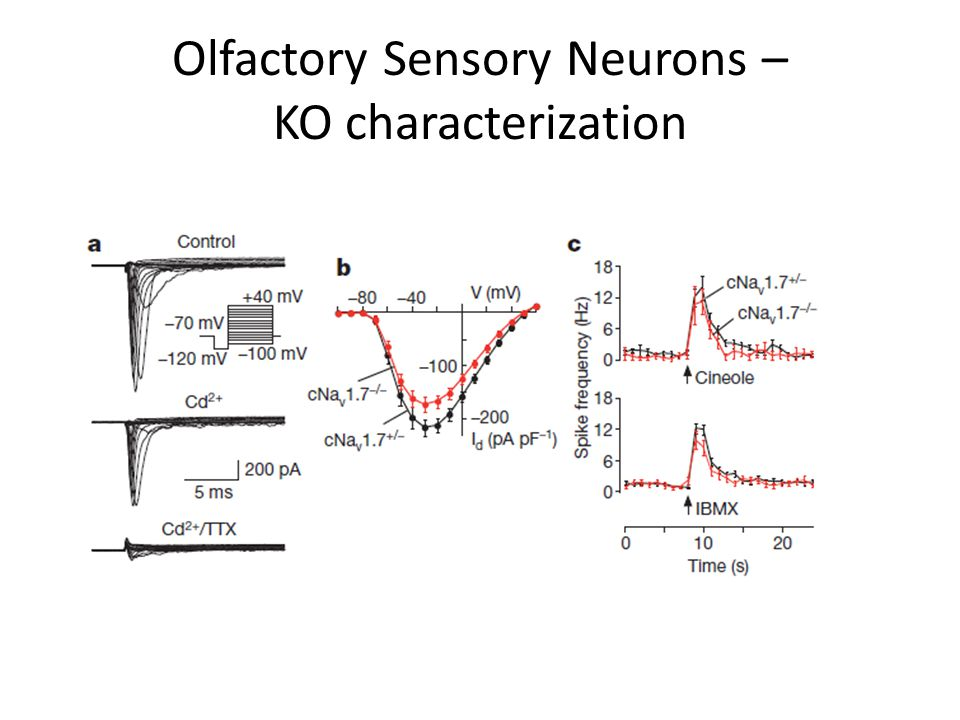 Olfactory Sensory Neurons – KO characterization
