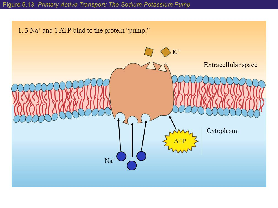 """1. 3 Na + and 1 ATP bind to the protein """"pump."""" Extracellular space Cytoplasm K+K+ ATP Na + Figure 5.13 Primary Active Transport: The Sodium-Potassium"""