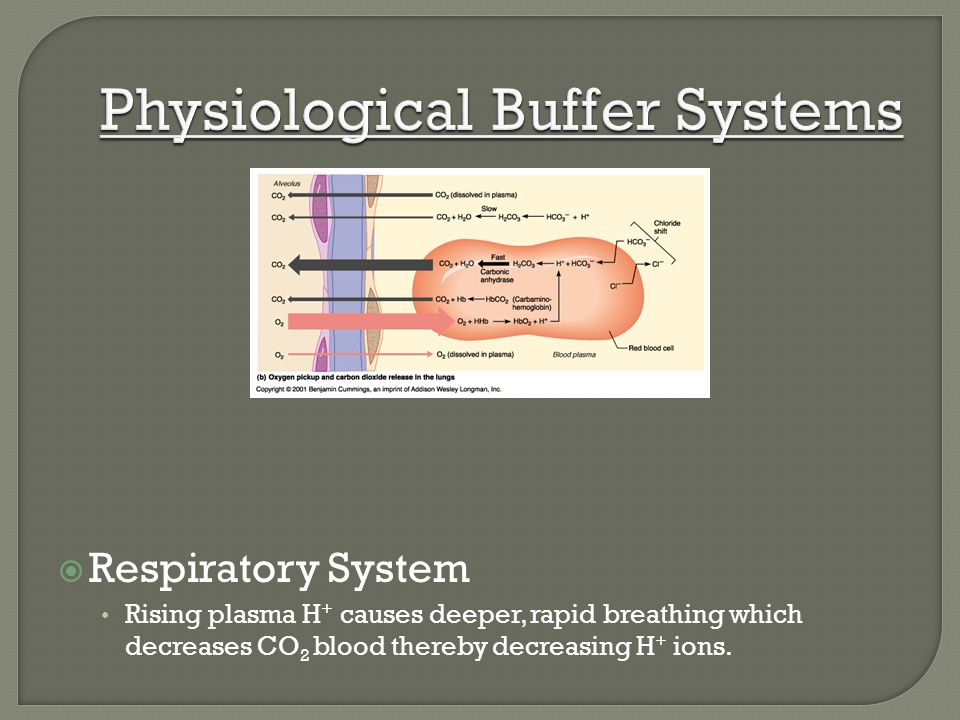 Respiratory System Rising plasma H + causes deeper, rapid breathing which decreases CO 2 blood thereby decreasing H + ions.