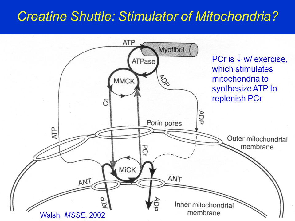 Creatine Shuttle: Stimulator of Mitochondria? Walsh, MSSE, 2002 PCr is  w/ exercise, which stimulates mitochondria to synthesize ATP to replenish PCr