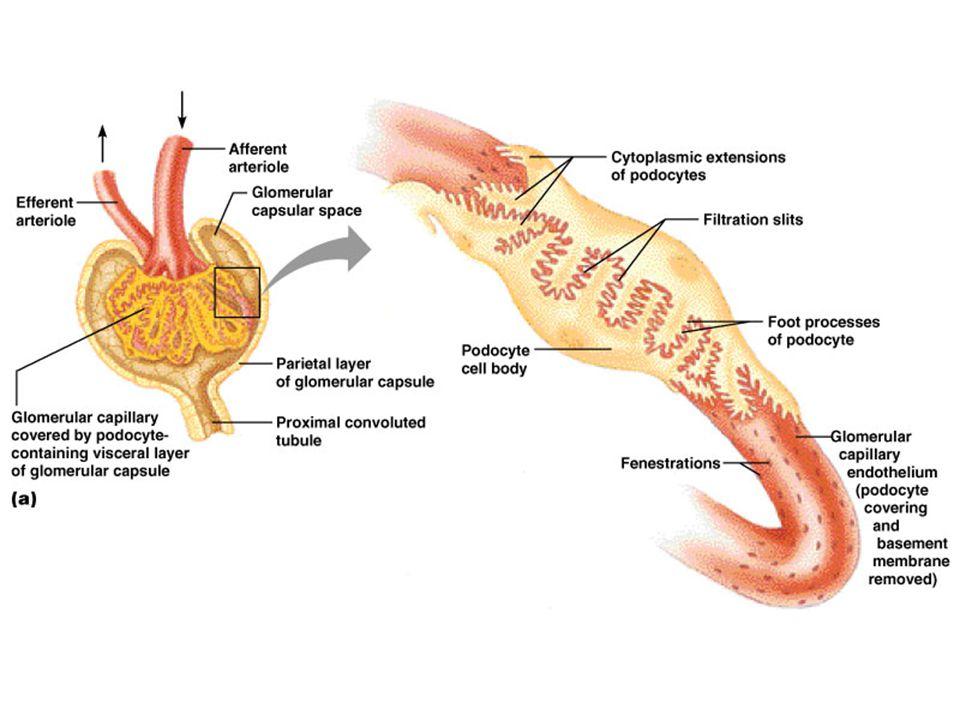 The filtration membrane