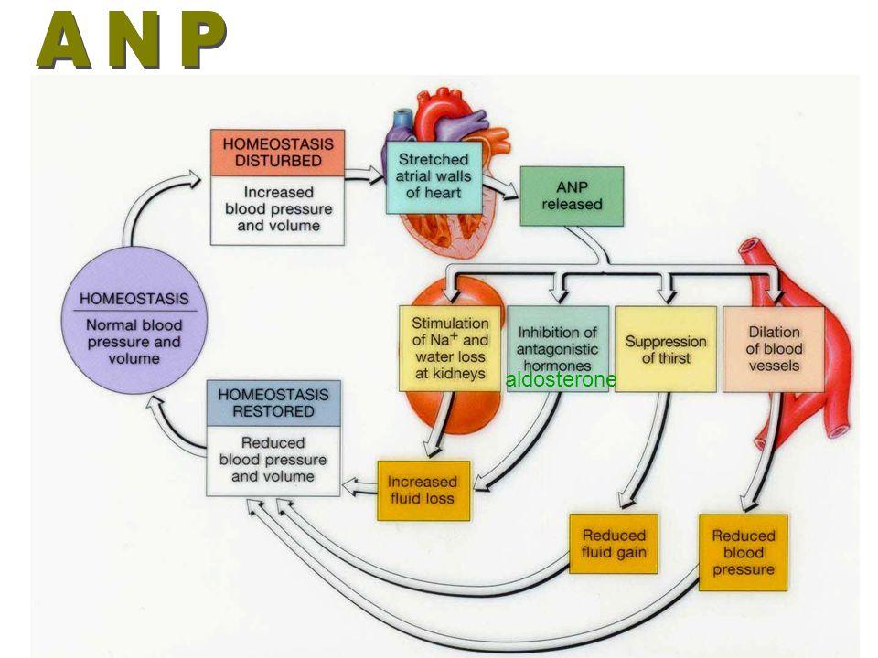 Fig. 18.16 Regulation of Aldosterone secretion by renin-angiotensin- aldosterone (RAA) pathway
