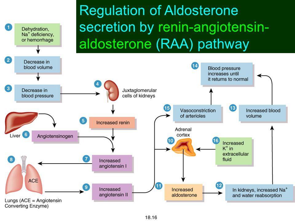Hormonal Control of Kidney Function reduced blood pressure and glomerular filtrate juxtaglomerular apparatus renin