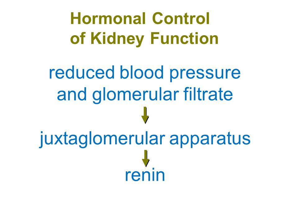 Hormonal Control of Kidney Function renin angiotensinogen angiotensin I angiotensin II
