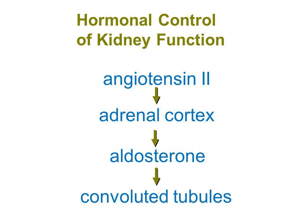 Urinary Bladder ureters internal sphincters external sphincters urethra