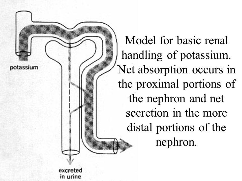 Model for basic renal handling of potassium.