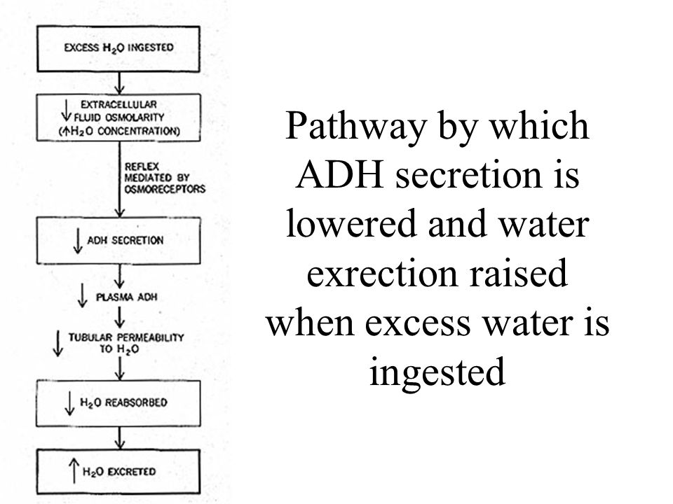 If plasma osmolality is directly increased by administration of solutes, only those solutes that do not freely or rapidly penetrate cell membranes, such as sodium, cause ADH release.