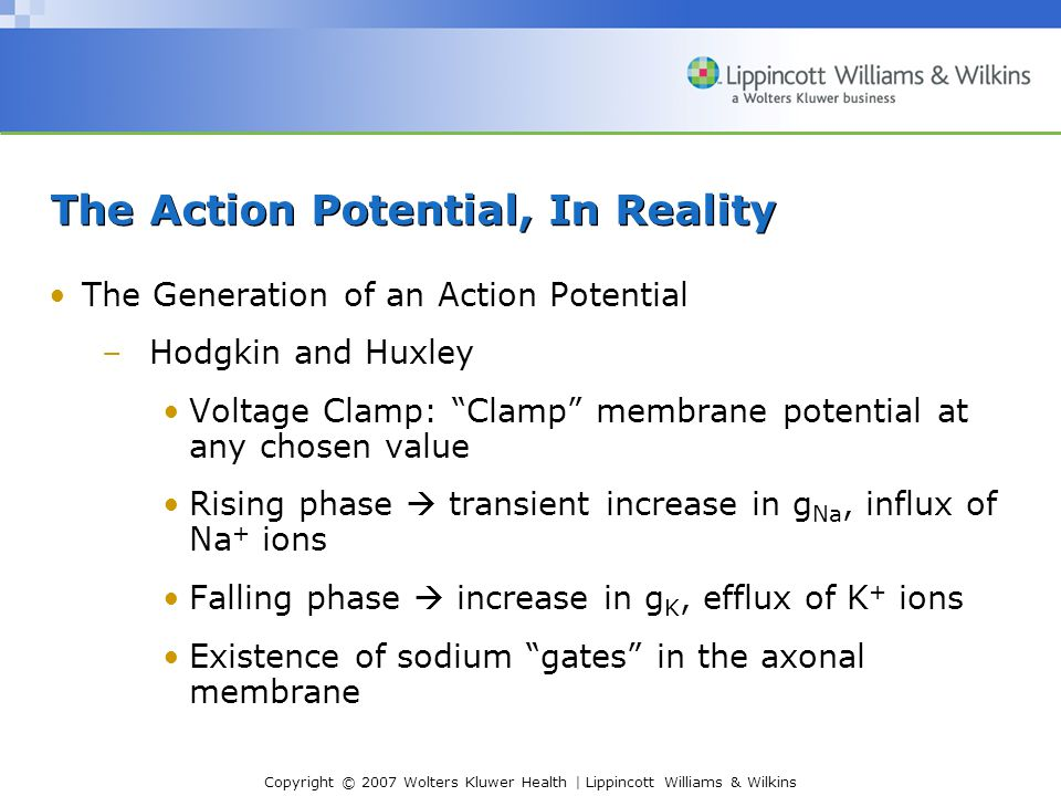 Copyright © 2007 Wolters Kluwer Health | Lippincott Williams & Wilkins The Action Potential, In Reality The Generation of an Action Potential –Hodgkin and Huxley Voltage Clamp: Clamp membrane potential at any chosen value Rising phase  transient increase in g Na, influx of Na + ions Falling phase  increase in g K, efflux of K + ions Existence of sodium gates in the axonal membrane