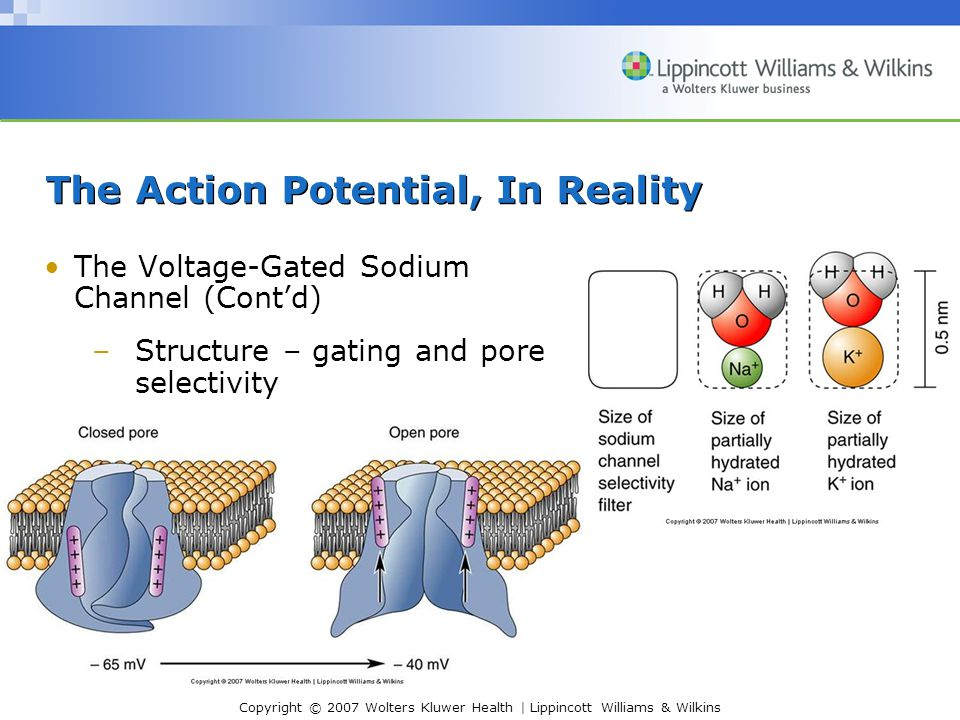 Copyright © 2007 Wolters Kluwer Health | Lippincott Williams & Wilkins The Action Potential, In Reality The Voltage-Gated Sodium Channel (Cont'd) –Structure – gating and pore selectivity