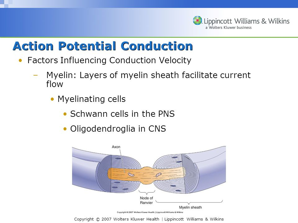 Copyright © 2007 Wolters Kluwer Health | Lippincott Williams & Wilkins Action Potential Conduction Factors Influencing Conduction Velocity –Myelin: Layers of myelin sheath facilitate current flow Myelinating cells Schwann cells in the PNS Oligodendroglia in CNS