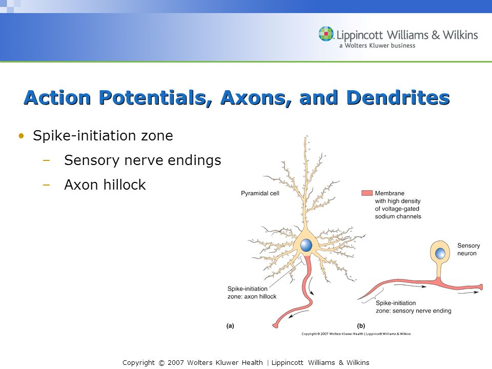 Copyright © 2007 Wolters Kluwer Health | Lippincott Williams & Wilkins Action Potentials, Axons, and Dendrites Spike-initiation zone –Sensory nerve endings –Axon hillock