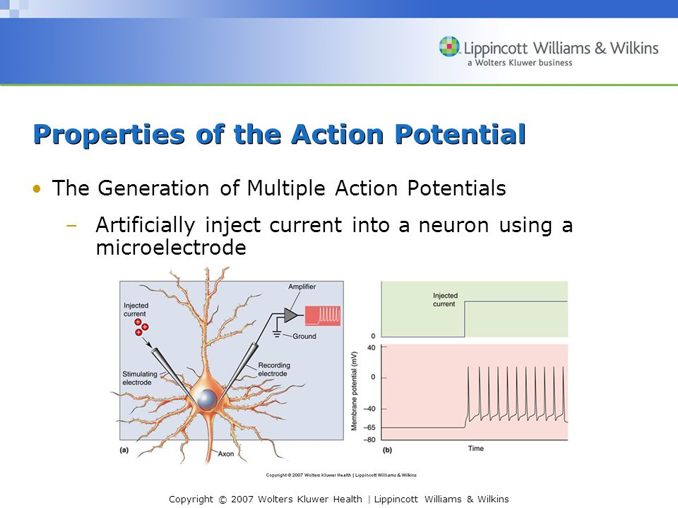 Copyright © 2007 Wolters Kluwer Health | Lippincott Williams & Wilkins Properties of the Action Potential The Generation of Multiple Action Potentials (Cont'd) –Firing frequency reflects the magnitude of the depolarizing current