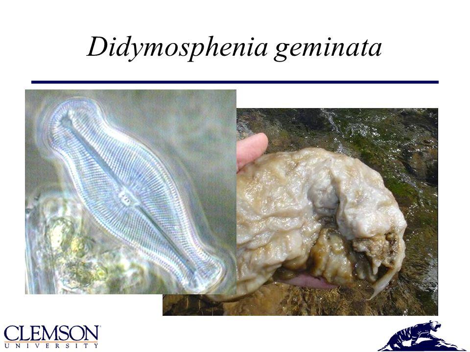 Cylindrospermopsis raciborskii