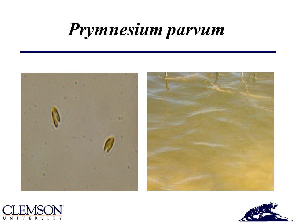 Effects of a P. parvum Bloom