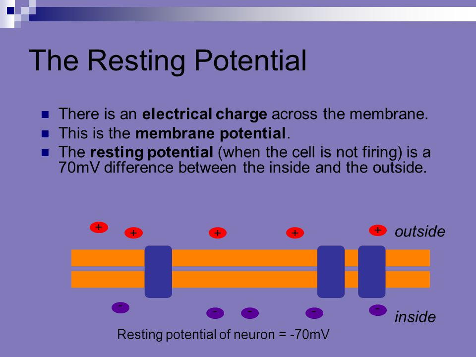 The Resting Potential There is an electrical charge across the membrane. This is the membrane potential. The resting potential (when the cell is not f