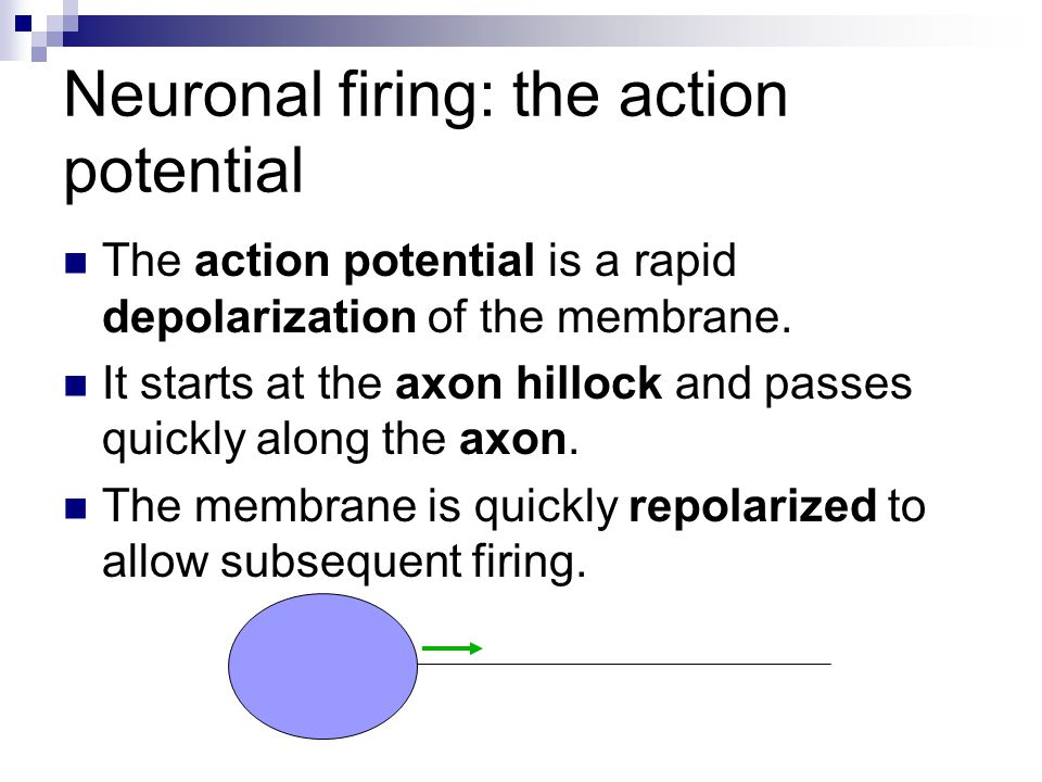 Neuronal firing: the action potential The action potential is a rapid depolarization of the membrane. It starts at the axon hillock and passes quickly
