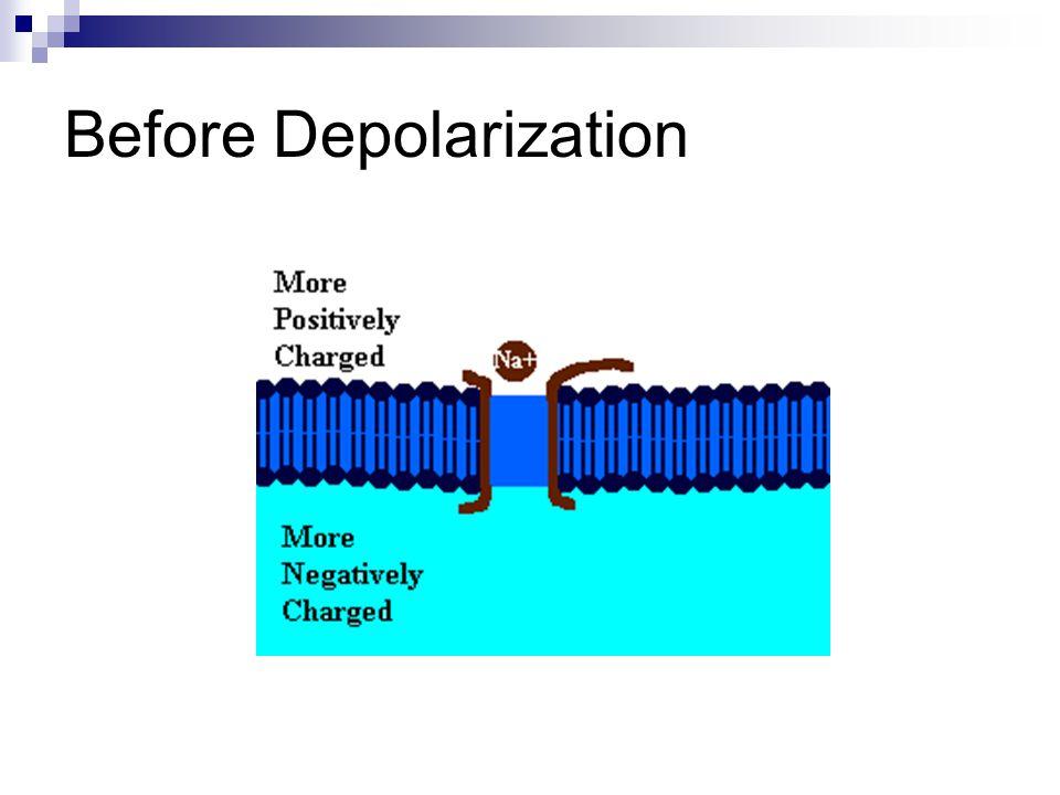 Before Depolarization