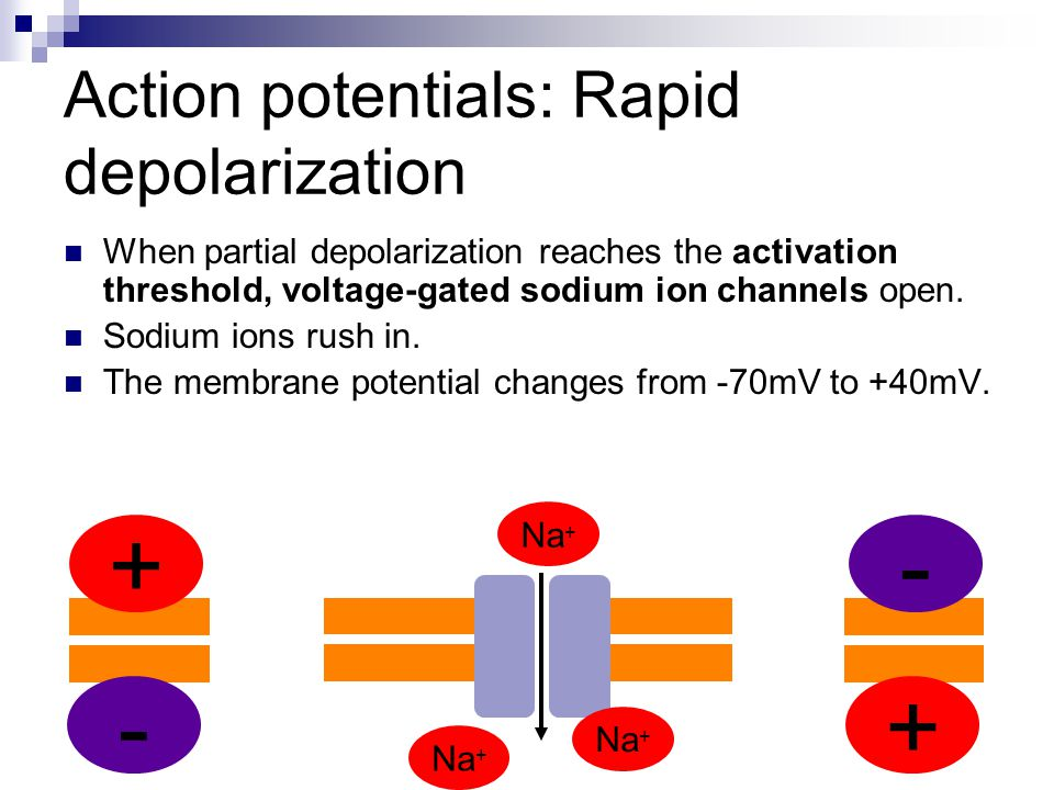 Action potentials: Rapid depolarization When partial depolarization reaches the activation threshold, voltage-gated sodium ion channels open. Sodium i