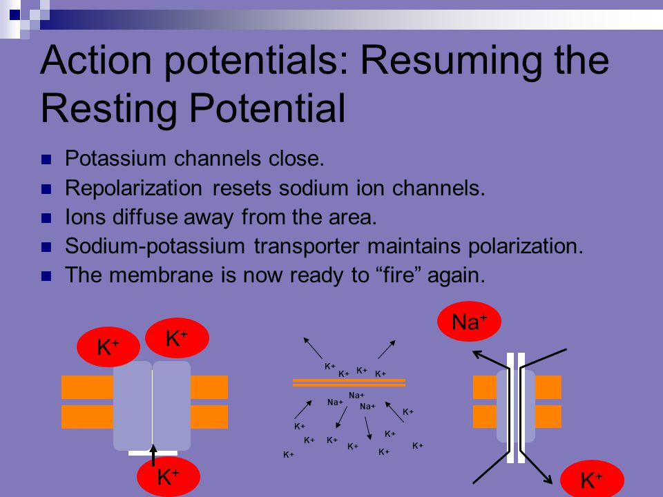 Action potentials: Resuming the Resting Potential Potassium channels close. Repolarization resets sodium ion channels. Ions diffuse away from the area