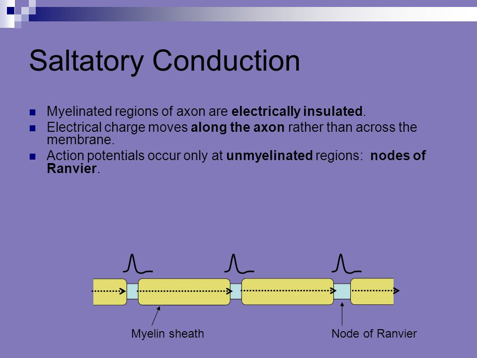 Saltatory Conduction Myelinated regions of axon are electrically insulated. Electrical charge moves along the axon rather than across the membrane. Ac