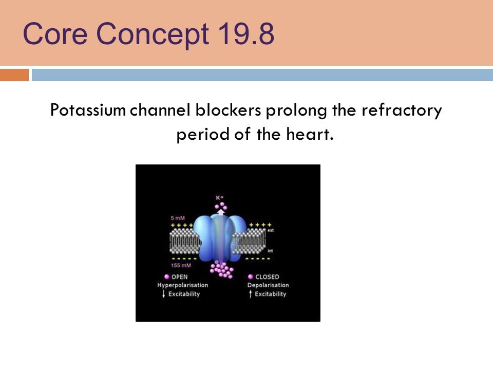 Core Concept 19.8 Potassium channel blockers prolong the refractory period of the heart.