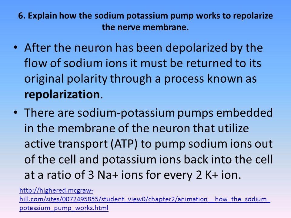 6.Explain how the sodium potassium pump works to repolarize the nerve membrane.