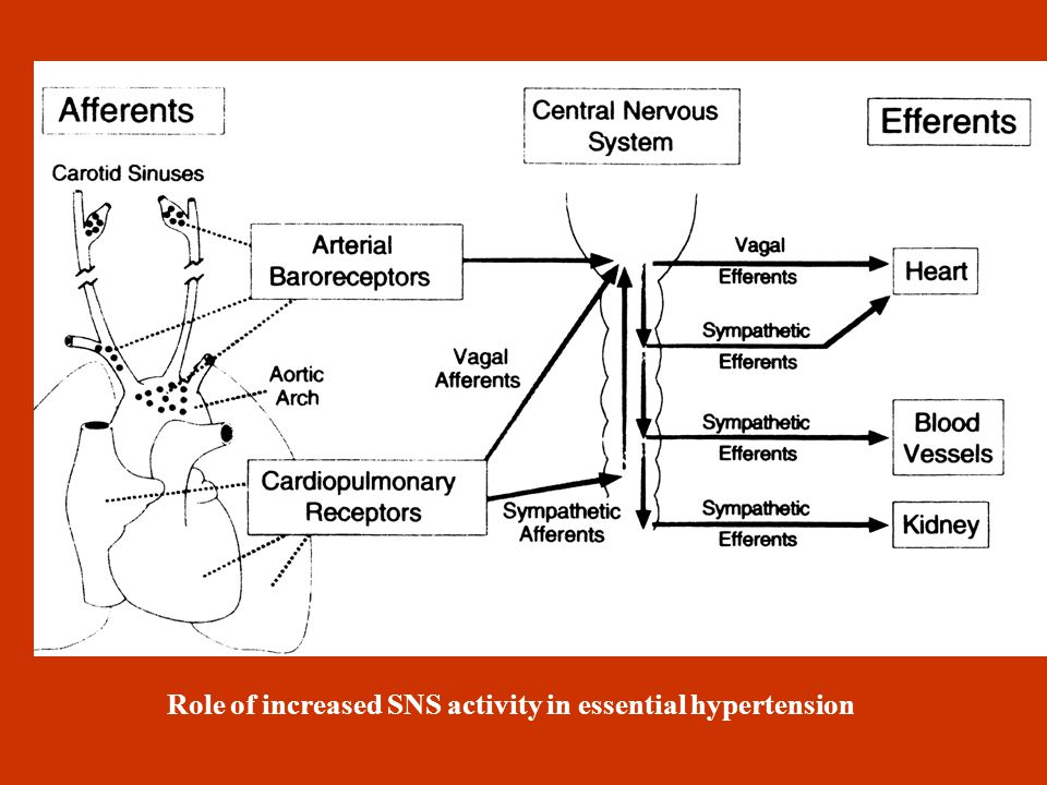 HYPERTENSION AND NERVOUS SYSTEM Increased SNS activity in central nervous system (SNS and hypothalamus) and peripheral nervous system (adrenergic endi