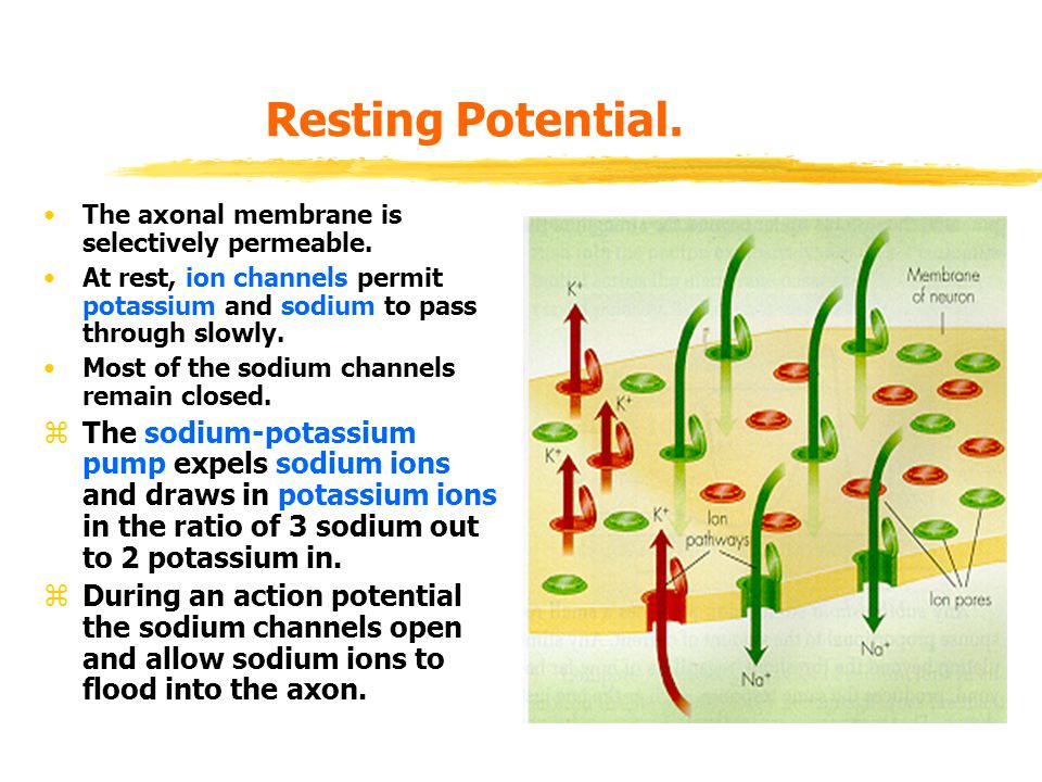 Resting Potential. The axonal membrane is selectively permeable. At rest, ion channels permit potassium and sodium to pass through slowly. Most of the