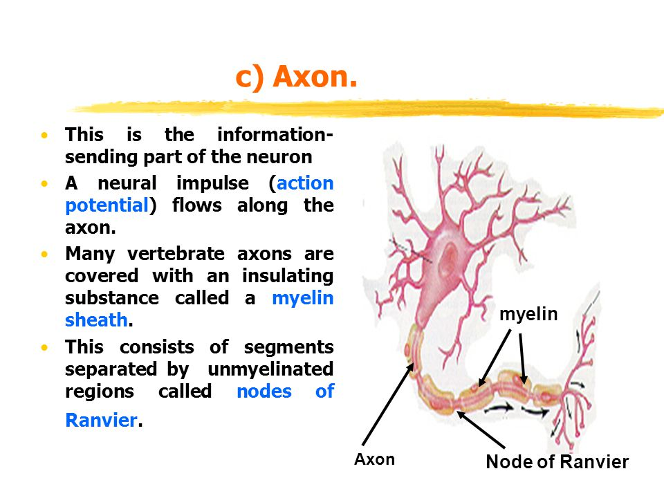 c) Axon. This is the information- sending part of the neuron A neural impulse (action potential) flows along the axon. Many vertebrate axons are cover