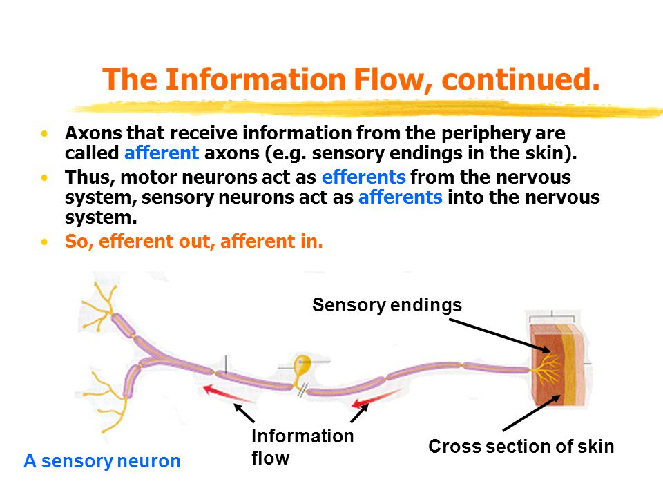 The Information Flow, continued. Axons that receive information from the periphery are called afferent axons (e.g. sensory endings in the skin). Thus,
