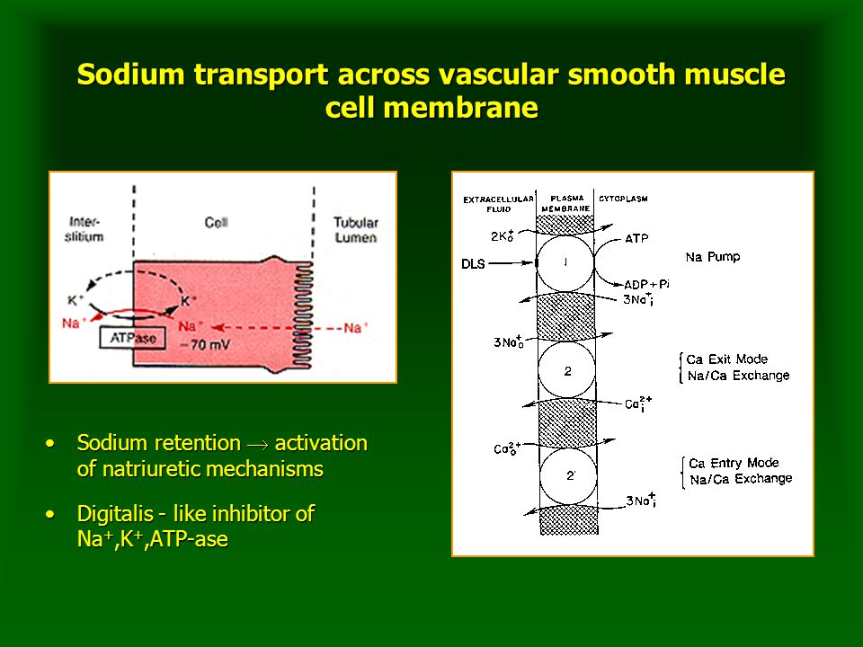 Sodium transport across vascular smooth muscle cell membrane Sodium retention  activation of natriuretic mechanismsSodium retention  activation of natriuretic mechanisms Digitalis - like inhibitor of Na +,K +,ATP-aseDigitalis - like inhibitor of Na +,K +,ATP-ase