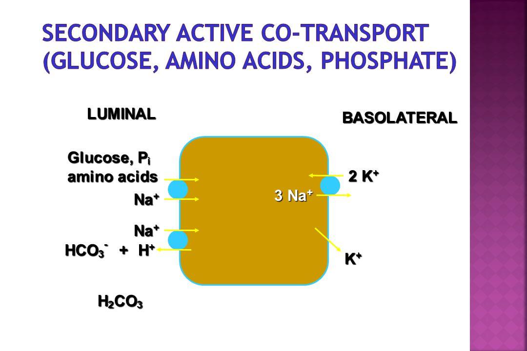 LUMINAL BASOLATERAL Glucose, P i amino acids Na + H+H+H+H+ 3 Na + 2 K + K+K+K+K+ HCO 3 - + H 2 CO 3