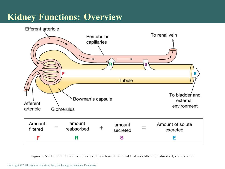 Copyright © 2004 Pearson Education, Inc., publishing as Benjamin Cummings Kidney Functions: Overview Figure 19-3: The excretion of a substance depends on the amount that was filtered, reabsorbed, and secreted