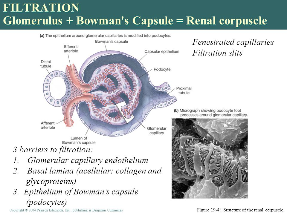 Copyright © 2004 Pearson Education, Inc., publishing as Benjamin Cummings FILTRATION Glomerulus + Bowman s Capsule = Renal corpuscle Figure 19-4: Structure of the renal corpuscle 3 barriers to filtration: 1.Glomerular capillary endothelium 2.Basal lamina (acellular; collagen and glycoproteins) 3.