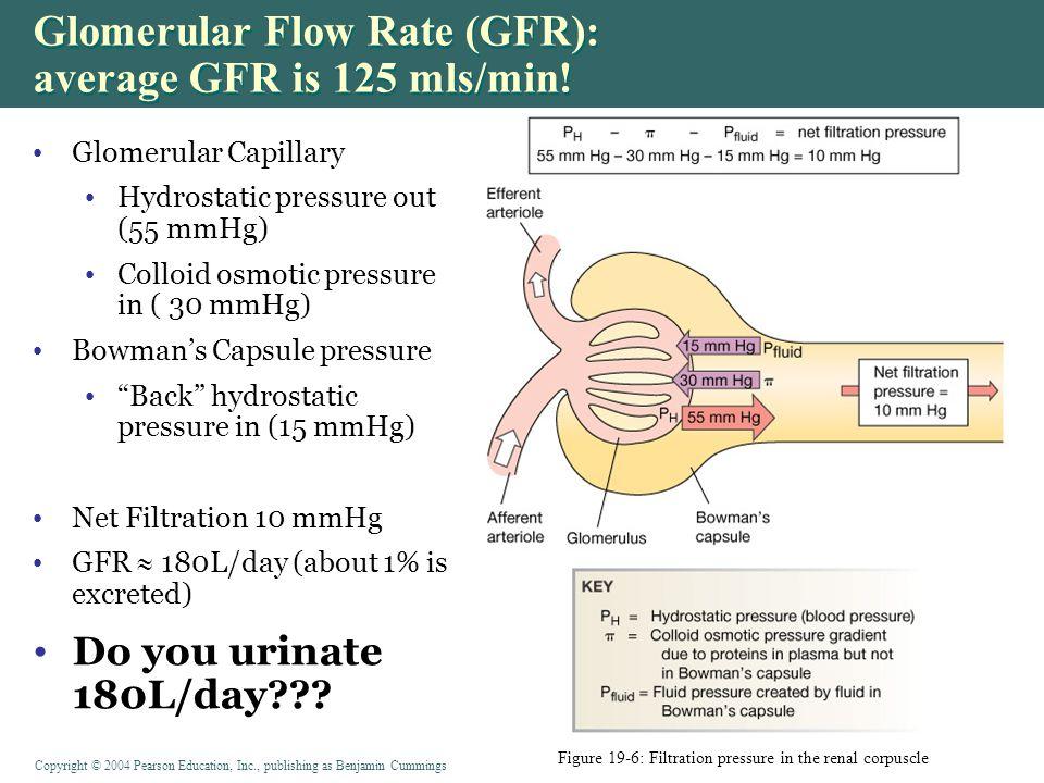 Copyright © 2004 Pearson Education, Inc., publishing as Benjamin Cummings Glomerular Flow Rate (GFR): average GFR is 125 mls/min.