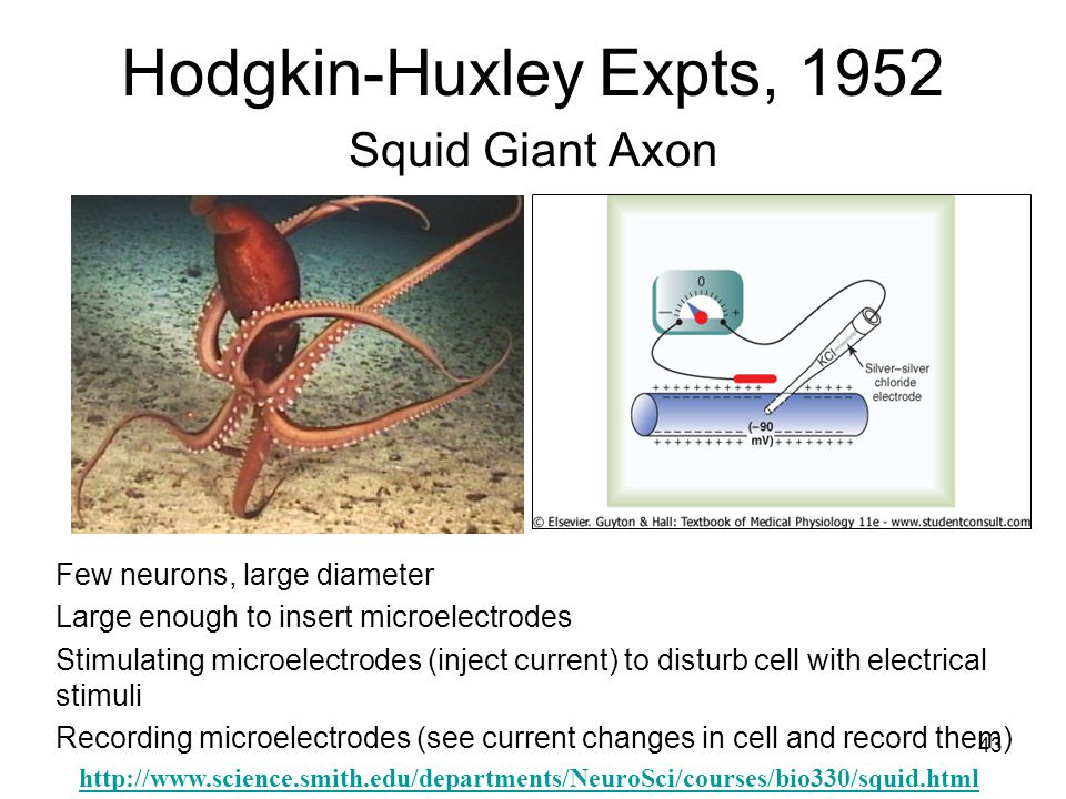 43 Hodgkin-Huxley Expts, 1952 Squid Giant Axon Few neurons, large diameter Large enough to insert microelectrodes Stimulating microelectrodes (inject current) to disturb cell with electrical stimuli Recording microelectrodes (see current changes in cell and record them) http://www.science.smith.edu/departments/NeuroSci/courses/bio330/squid.html