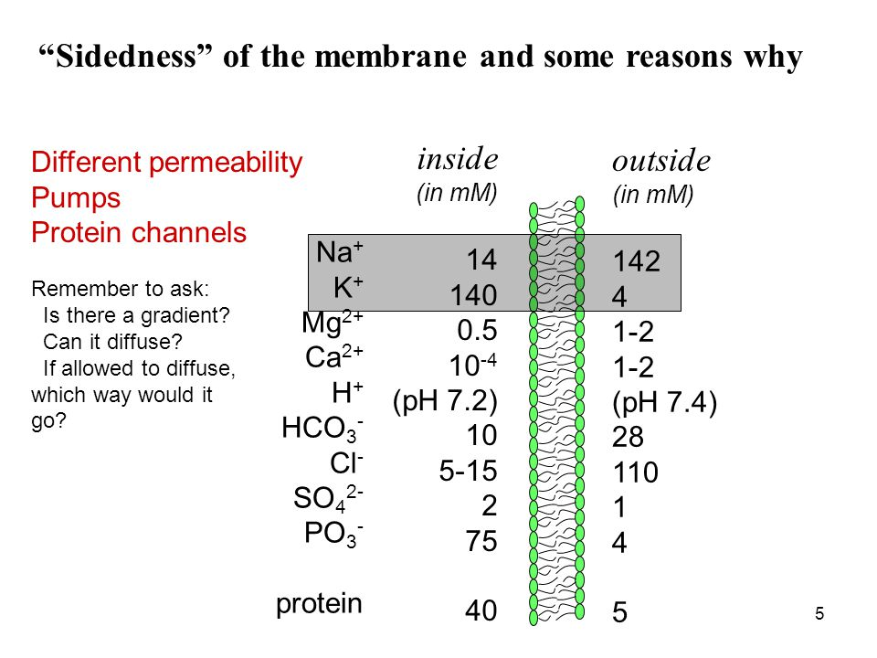 5 Sidedness of the membrane and some reasons why Na + K + Mg 2+ Ca 2+ H + HCO 3 - Cl - SO 4 2- PO 3 - protein inside (in mM) 14 140 0.5 10 -4 (pH 7.2) 10 5-15 2 75 40 outside (in mM) 142 4 1-2 (pH 7.4) 28 110 1 4 5 Different permeability Pumps Protein channels Remember to ask: Is there a gradient.