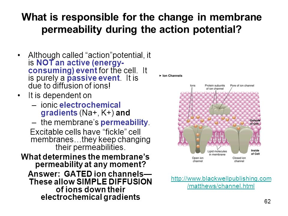 62 What is responsible for the change in membrane permeability during the action potential.