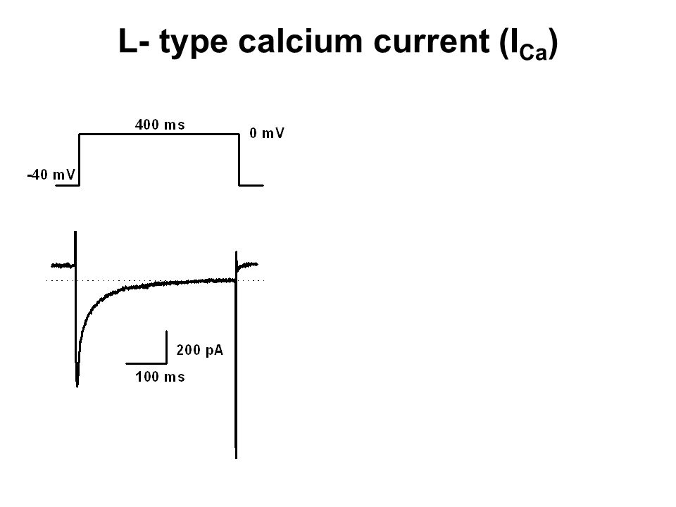 L- type calcium current (I Ca )
