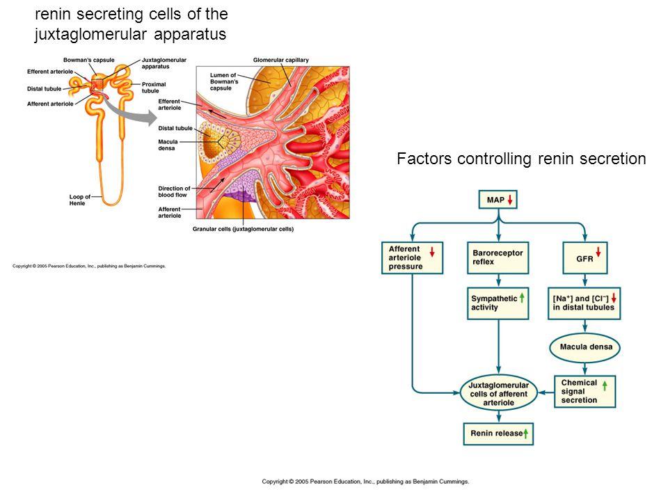 renin secreting cells of the juxtaglomerular apparatus Factors controlling renin secretion